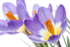 Flower Crocus Tricolor. Beautiful spring flower Crocus Tricolor in the Iris family, macro with narrow focus Royalty Free Stock Photos