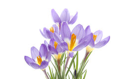 Flower Crocus Tricolor. Beautiful spring flower Crocus Tricolor in the Iris family, macro with narrow focus Stock Photography