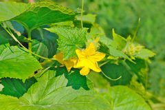 Flower of the cucumber plant Stock Images
