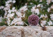 Flower of cultivated Allium, Greece Stock Photos