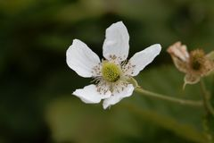 Flower of a  blackberry Rubus fruticosus Royalty Free Stock Photography