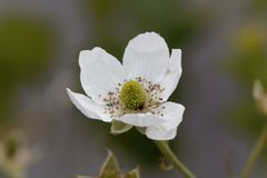 Flower of a  blackberry Rubus fruticosus Royalty Free Stock Photos