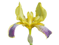 Flower of cultivated iris 12 Stock Photos