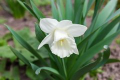 Flower of the cultivated white narcissus with trumpet-shaped corona. Flower of the cultivated narcissus with white petals and long white trumpet-shaped corona in stock photography