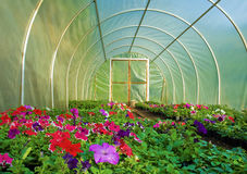 Flower cultivation in Greenhouse Royalty Free Stock Photos