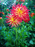 Flower cultivation outdoors, two cactus dahlias Royalty Free Stock Photos