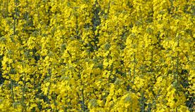 Flower cultivation of rapeseed for oil production Royalty Free Stock Image