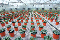 Flower cultivation Stock Photography
