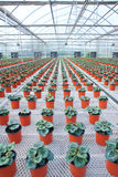 Flower cultivation Royalty Free Stock Images