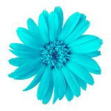 Flower cyan calendula, isolated on a white background. Close-up. Element of design stock photo