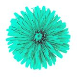 Flower cyan dandelion isolated on white background. Flower bud close up. Element of design.  royalty free stock photos