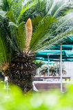 Flower of cycas Royalty Free Stock Photography