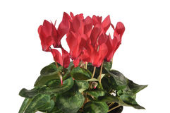 Flower cyclamen Royalty Free Stock Images