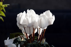 Flower of Cyclamen. Clean flowers, winter flowers Cyclamen is greenhouse cultivated in Japan and appreciates potted plants Royalty Free Stock Photography