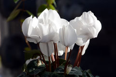 Flower of Cyclamen. Clean flowers, winter flowers Cyclamen is greenhouse cultivated in Japan and appreciates potted plants Stock Photos