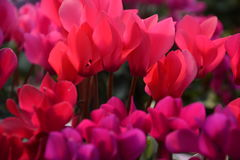 Flower of Cyclamen. Clean flowers, winter flowers Cyclamen is greenhouse cultivated in Japan and appreciates potted plants Royalty Free Stock Photos