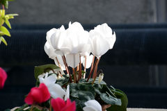 Flower of Cyclamen. Clean flowers, winter flowers Cyclamen is greenhouse cultivated in Japan and appreciates potted plants Royalty Free Stock Images