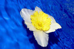 Flower of daffodil . Stock Photos