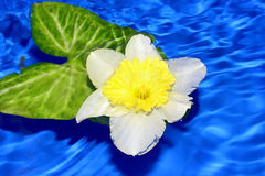 Flower of daffodil . Royalty Free Stock Image