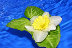 Flower of daffodil . Stock Images