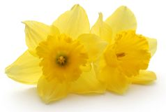 Flower daffodil. Over white background Stock Photos