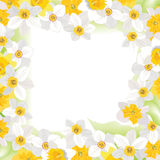 Flower daffodil frame isolated on white background. Floral  decor. Flower decor. Flower rose background . Floral frame with white and yellow daffodils Royalty Free Stock Photos