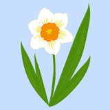 Flower daffodil with leaves on a blue background. vector illustr Royalty Free Stock Photography