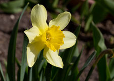 Flower daffodil Stock Photos