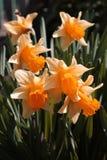 Flower Daffodils Stock Photos