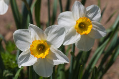 Flower Daffodils Stock Photography