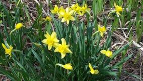 Flower Daffodils Stock Photo