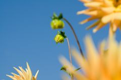 Flower dahlia. Buds of flower dahlia gold crown at summer sky in the garden Stock Photo