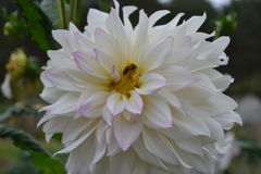 Flower of dahlia. The bee sits on a flower Stock Image