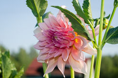 Flower Dahlia close-up. On sky background Royalty Free Stock Photography