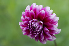 Flower Dahlia crimson globular Royalty Free Stock Photo