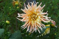 Flower of dahlia Dahlia cultivar Garden Party with buds growing. Flower Dahlia of the Garden Party variety with a yellow-cream inflorescence and buds among the royalty free stock image