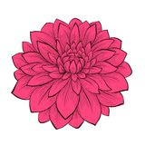 Flower Dahlia drawn in graphical style contours an Stock Image
