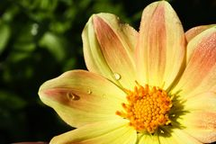 Flower of the dahlia in garden Royalty Free Stock Images