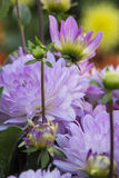 Flower Dahlia Graceland Royalty Free Stock Photos