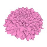 Flower Dahlia isolated on background. Hand-drawn contour lines and strokes. Royalty Free Stock Photos
