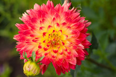 Flower of dahlia. The photo shows a magnificent dahlia flower. Close-up Royalty Free Stock Images