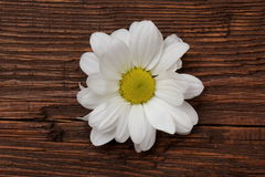 Flower of daisies. White flowers in the proof of the purity of the soul Stock Image