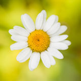 Flower daisy or chamomile on a blurred background of green grass. Large beautiful single flower daisy or chamomile photographed from above on a blurred royalty free stock photos
