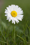 Flower daisy. Closeup of a wild daisy spring Royalty Free Stock Image