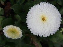 Flower, Daisy, Daisy Family, Chrysanths Stock Photo