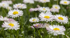 Flower, Daisy, Daisy Family, Meadow Stock Images