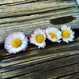 Flower, Daisy, Flora, Daisy Family stock image