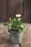 Flower daisy in a flowerpot on a wooden old brown table, close-up. Concept of gardening stock photo