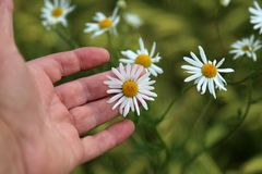 The flower of the daisy in the mans hand.  stock photos