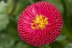Flower of daisy Stock Photo